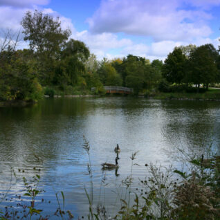 Geese in the lake